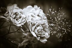 Grayscale Photography of Flowers Stock Photo