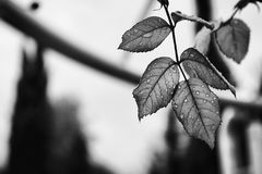 Grayscale Photography of Leaf Covered in Water Drops Stock Photo