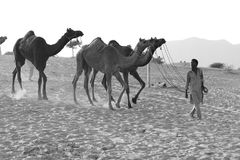 Grayscale Photography of Man Luring Camels Royalty Free Stock Images