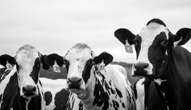 Grayscale Photography of Three Cows Stock Photography
