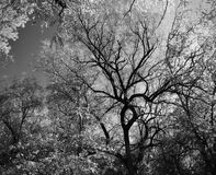 Grayscale Photography of Trees Royalty Free Stock Photography