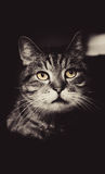 Graysclae Photo of Cat Royalty Free Stock Images