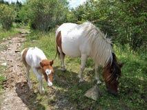 Grayson Highlands Feral Ponies imagens de stock royalty free