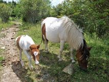 Grayson Highlands Feral Ponies Royalty Free Stock Images