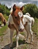 Grayson Highlands Feral Pony imagem de stock royalty free
