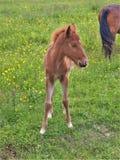 Grayson Highlands Feral Pony Foal royalty-vrije stock fotografie