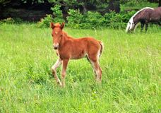Grayson Highlands Feral Pony Foal stock afbeelding