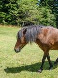 Grayson Highlands Feral Pony Foal stock foto