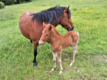 Grayson Highlands State Park Feral-Ponys Stockfoto