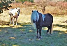 Grayson Highlands Wild Ponies imagens de stock royalty free