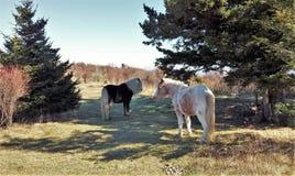 Grayson Highlands Wild Ponies imagem de stock
