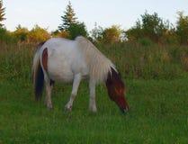 Grayson Highlands Wild Ponies foto de stock royalty free