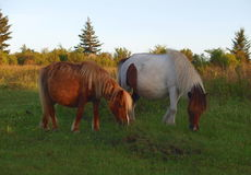 Free Grayson Highlands Wild Ponies Stock Images - 93134524