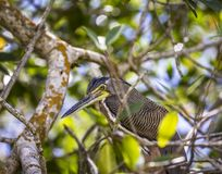 Graza Tigrisoma tygrysi mexicanum jest gatunki ptak który znają jako hocó cuellinudo lub avetigre mexicana zdjęcia royalty free