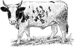 Grazed cow Stock Photography