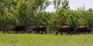 Grazed cows Stock Photography