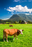 Grazed cows on pasture in the Alps Stock Photography