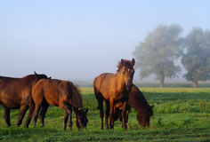 Grazed horses and foals on a meadow early. In the morning at sunrise Royalty Free Stock Photography