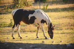 Grazed mare at the pasture. A Grazed mare at the pasture Royalty Free Stock Image