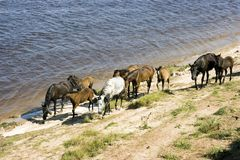Grazed on river bank herd of horses Royalty Free Stock Image