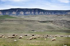 Grazed sheeps. Flock of the grazed sheep at a foot of the Rocky Mountains in the Karachay-Cherkess Republic Stock Photography