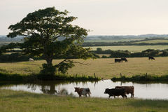 Grazeing cows Stock Photography