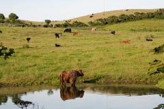Grazeing cows Stock Photo