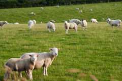 Grazeing lambs Stock Photo