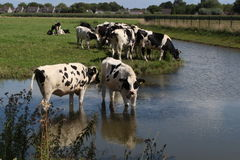 Grazing cows. Cows in the water near a meadow Royalty Free Stock Photos