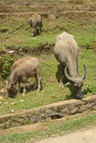 Grazer buffaloes. In North Vietnam royalty free stock images