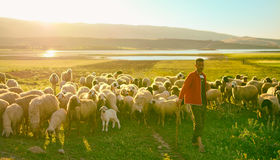 Grazes herd of sheep Royalty Free Stock Photos