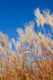 Graziella Maiden Grass (miscanthus sinensis) Royalty Free Stock Photos
