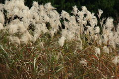 Graziella Maiden Grass miscanthus sinensis in autumn. Silver grass with wind in a field Royalty Free Stock Photography