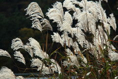 Graziella Maiden Grass miscanthus sinensis in autumn. Silver grass with wind in a field Stock Photography