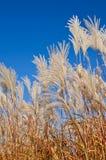 Graziella Maiden Grass (miscanthussinensis) Royalty-vrije Stock Foto's