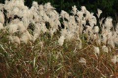 Graziella Maiden Grass miscanthussinensis i höst Royaltyfri Fotografi