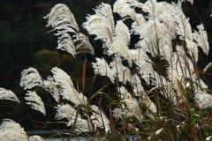 Graziella Maiden Grass miscanthussinensis i höst Arkivbild