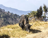 Grazig yak in the himalayas Royalty Free Stock Image