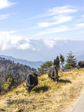 Grazig yaks in the himalayas Royalty Free Stock Photography