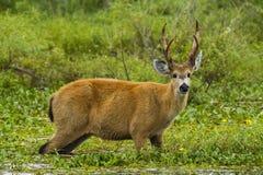 Grazin masculino dos cervos do pântano na água Fotografia de Stock