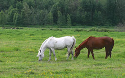 Grazing. Two beautiful horses grazing at a local ranch Royalty Free Stock Photography