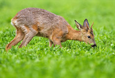Grazing. Very young roe buck kneels to feed on clover Royalty Free Stock Photography