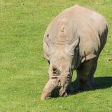 Grazing. A white rhino grazes in a field stock image