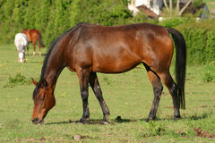 Grazing. Mare grazing an English Meadow Royalty Free Stock Image