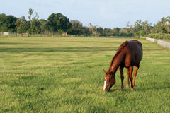 Grazing. Horse grazing on a beautiful green pasture Royalty Free Stock Photo