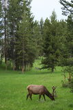 grazing Stockbilder