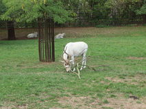 Grazing Addax. Long twisted horn Addax (Addax nasomaculatus) or white antelope also known as screwhorn antelope, a critically endangered species of antelope Stock Photo