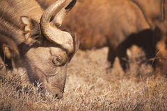 Grazing African buffalo in Addo Elephant NP, South Africa Stock Image