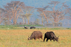 Grazing African buffaloes stock photos