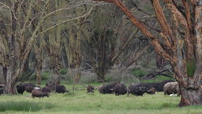 Grazing African buffalos stock video footage